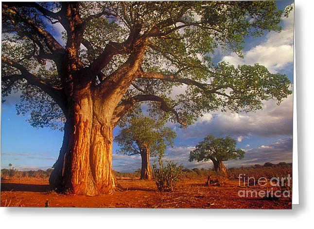 Baobab Greeting Cards - Baobab Trees Greeting Card by Art Wolfe