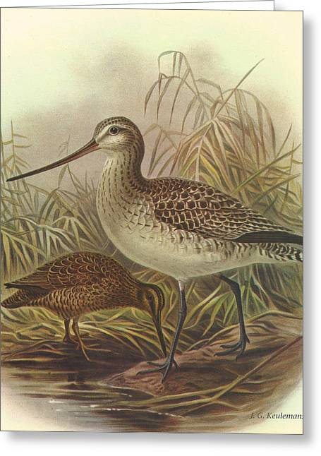 Chatham Paintings Greeting Cards - Bar Tailed Godwit and Chatham Island Snipe Greeting Card by J G Keulemans