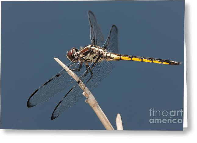 Polk County Florida Greeting Cards - Bar-winged Skimmer Dragonfly I Greeting Card by Clarence Holmes