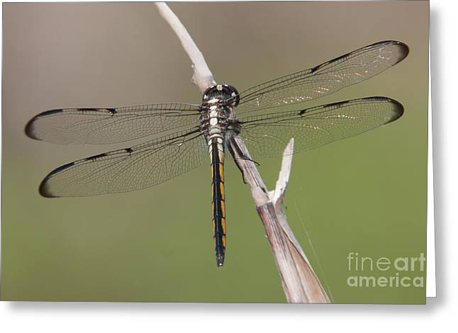 Polk County Florida Greeting Cards - Bar-winged Skimmer Dragonfly II Greeting Card by Clarence Holmes