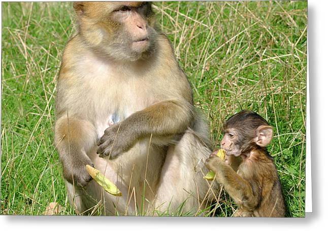 Barbary Macaque And Baby Greeting Card by Nigel Downer