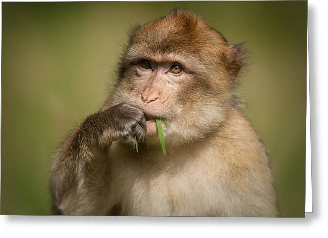 Barbary Macaque Greeting Card by Andy Astbury