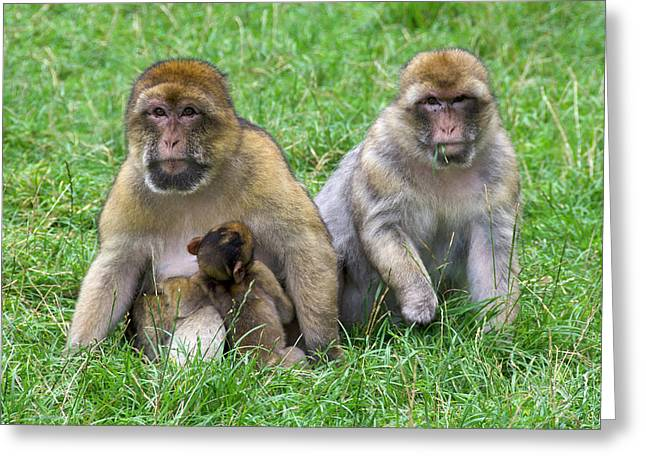 Barbary Macaques And Baby Greeting Card by Nigel Downer