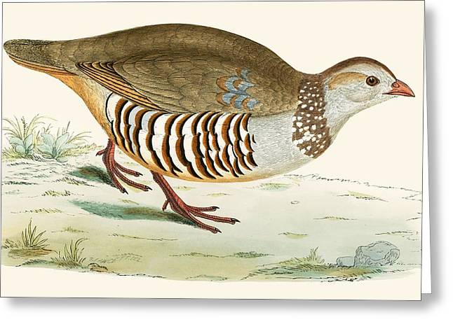 Hunting Bird Photographs Greeting Cards - Barbary Partridge Greeting Card by Beverley R. Morris