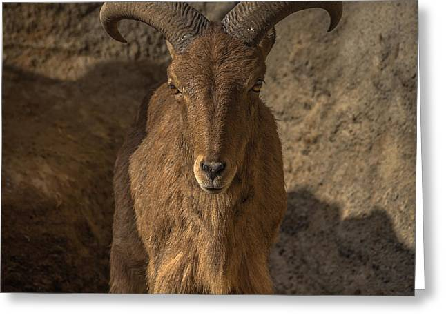 Hoofs Greeting Cards - Barbary sheep Greeting Card by Chris Fletcher