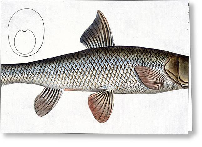 Angling Drawings Greeting Cards - Barbel Greeting Card by Andreas Ludwig Kruger