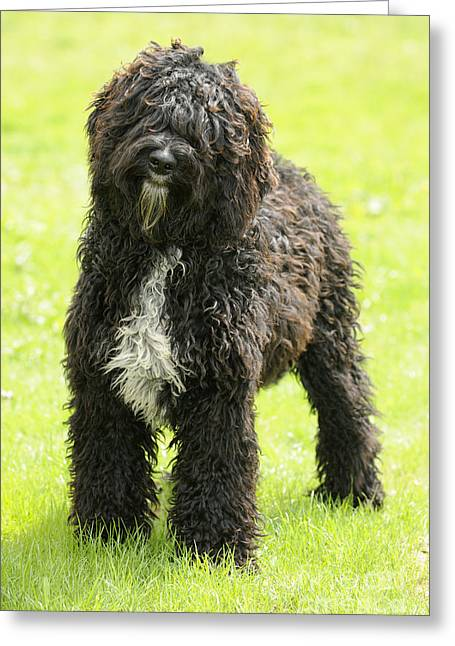 Head Tilt Greeting Cards - Barbet Dog Greeting Card by John Daniels