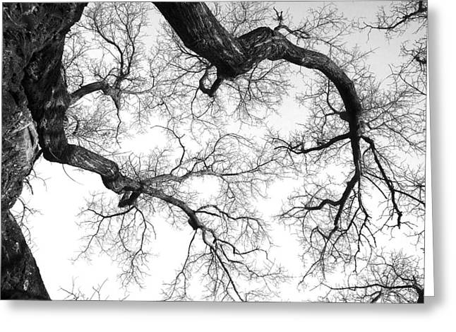 Bare Trees Greeting Cards - Bare Oak Tree Branches Greeting Card by Donald  Erickson