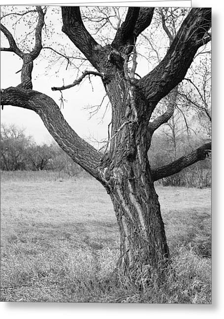 Bare Trees Greeting Cards - Bare Tree Trunk Greeting Card by Donald  Erickson