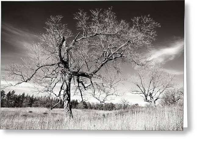 Plain Greeting Cards - Bare Trees Greeting Card by Jim Hughes