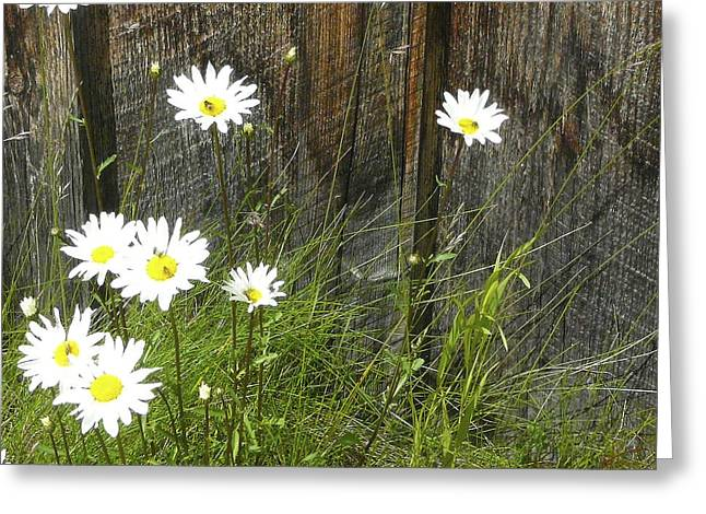 Barkerville Greeting Cards - Barkerville Daisies Greeting Card by Karen Hasegawa