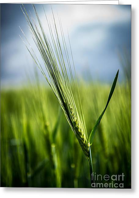 Hannes Cmarits Greeting Cards - Barley Greeting Card by Hannes Cmarits