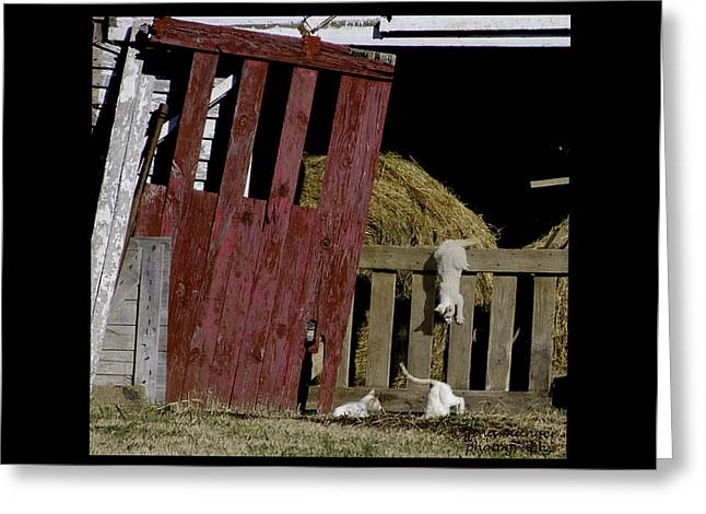 Tennessee Barn Greeting Cards - Barn Cats II Greeting Card by Gina Munger