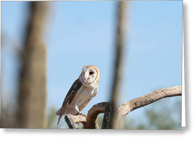 Barn Owl Greeting Card by David S Reynolds
