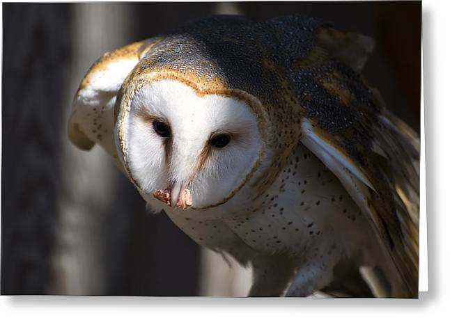 Owl Picture Greeting Cards - Barn Owl Eating 2 Greeting Card by Chris Flees