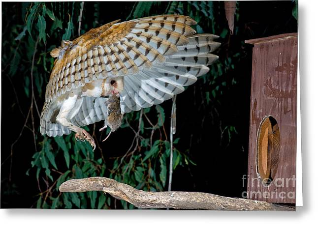 Barn Owl Flying With Mouse Greeting Card by Anthony Mercieca