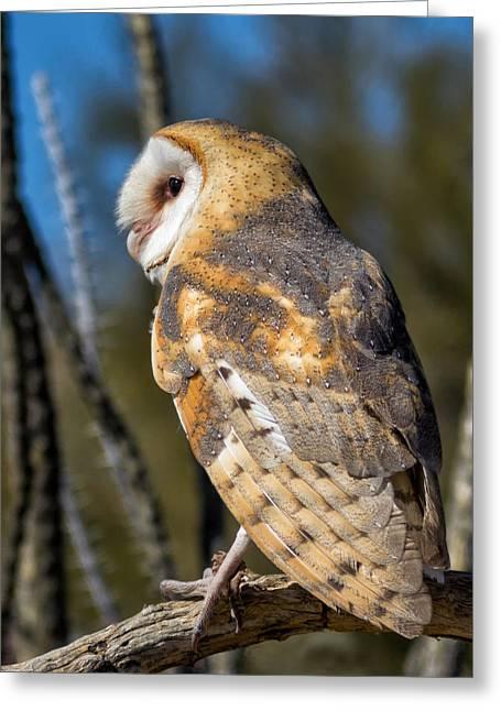 Barnyard Owl Greeting Cards - Barn Owl Greeting Card by Kathleen Bishop