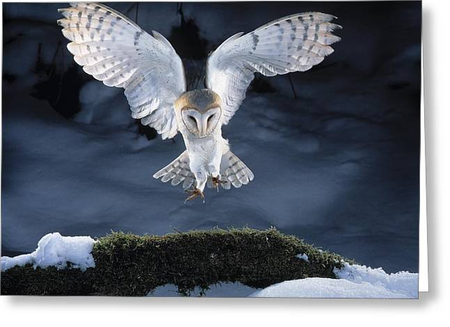 Owl Of Minerva Greeting Cards - Barn Owl Landing Greeting Card by Manfred Danegger