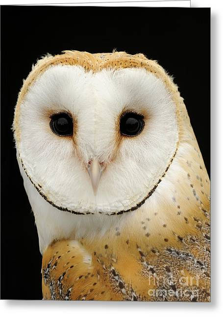 Disk Greeting Cards - Barn Owl Greeting Card by Malcolm Schuyl FLPA