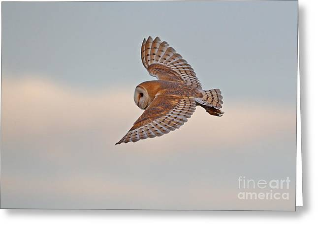 British Fauna Greeting Cards - Barn Owl Greeting Card by Neil Bowman FLPA