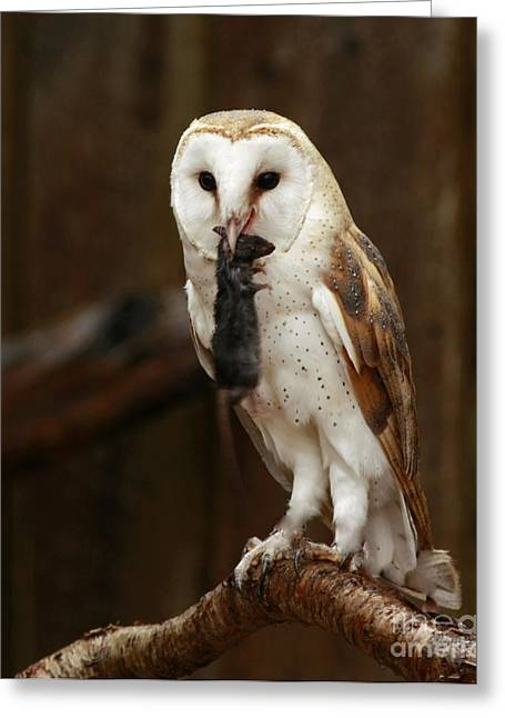 Shelley Myke Greeting Cards - Barn Owl with Catch of the Day Greeting Card by Inspired Nature Photography By Shelley Myke