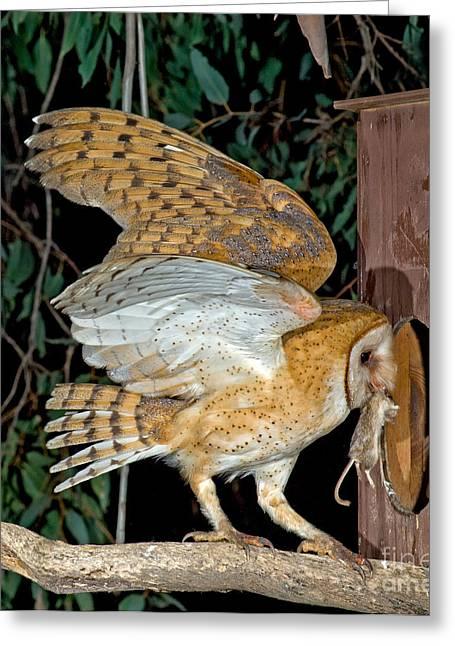 Barn Owl With Prey Greeting Card by Anthony Mercieca
