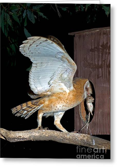 Barn Owl With Rat Greeting Card by Anthony Mercieca