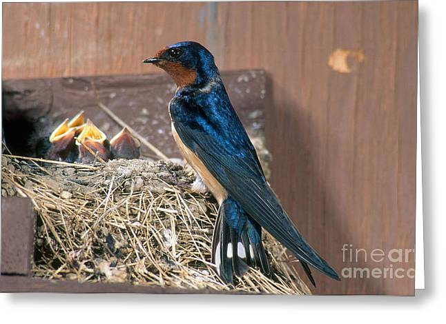 Barn Swallow At Nest Greeting Card by Anthony Mercieca