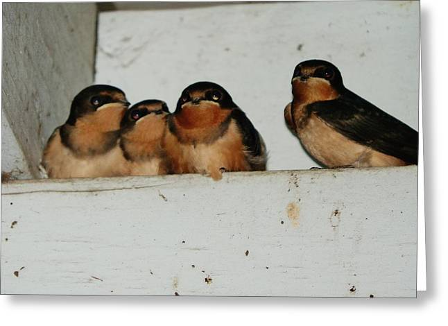 Over Hang Greeting Cards - Barn Swallow Babies Greeting Card by VLee Watson