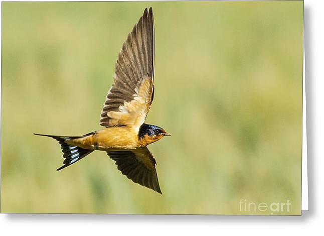 Barn Swallow Greeting Card by Carl Jackson