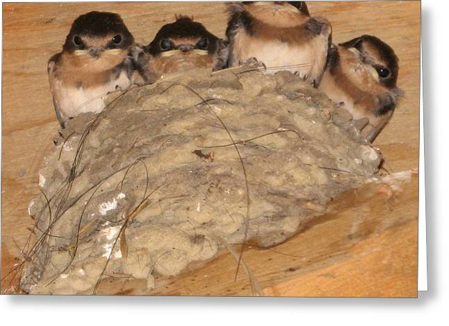 Swallow Nestlings Greeting Cards - Barn Swallow Chicks 2 Greeting Card by Conni Schaftenaar Elderberry Blossom Art
