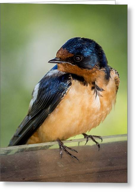 Baby Swallows Greeting Cards - Barn Swallow Greeting Card by Ernie Echols