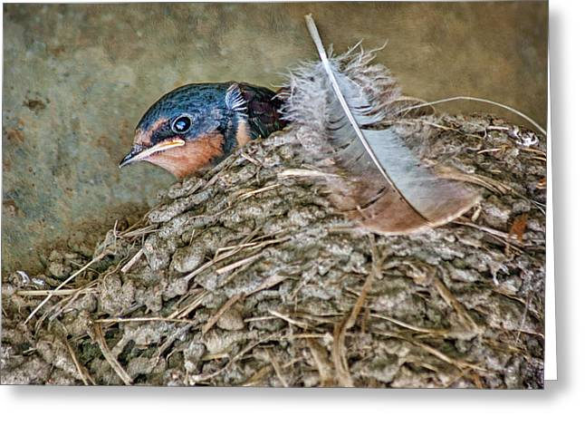 Mud Nest Greeting Cards - Barn Swallow Fledgling - Baby Bird in Nest Greeting Card by Nikolyn McDonald