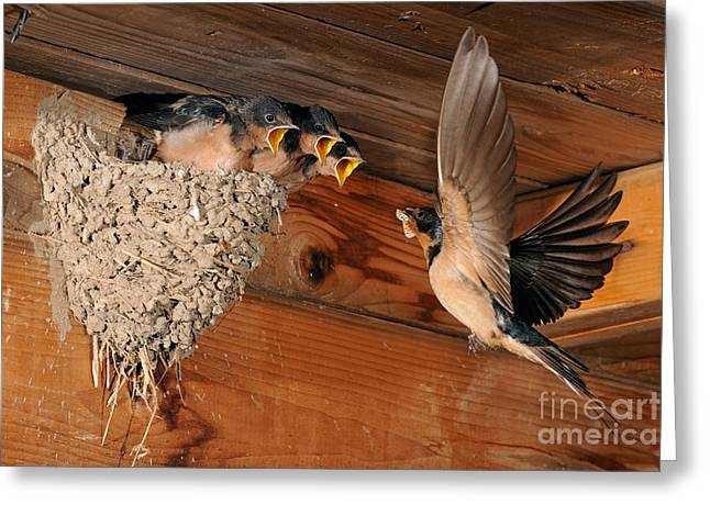 Butterfly Prey Greeting Cards - Barn Swallow Nest Greeting Card by Scott Linstead