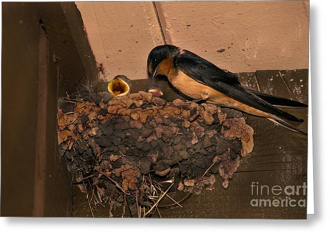 Barn Swallow Greeting Card by Ron Sanford