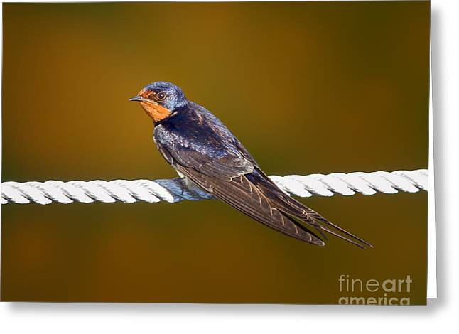 Barn Swallow Greeting Cards - Barn Swallow Greeting Card by Todd Bielby
