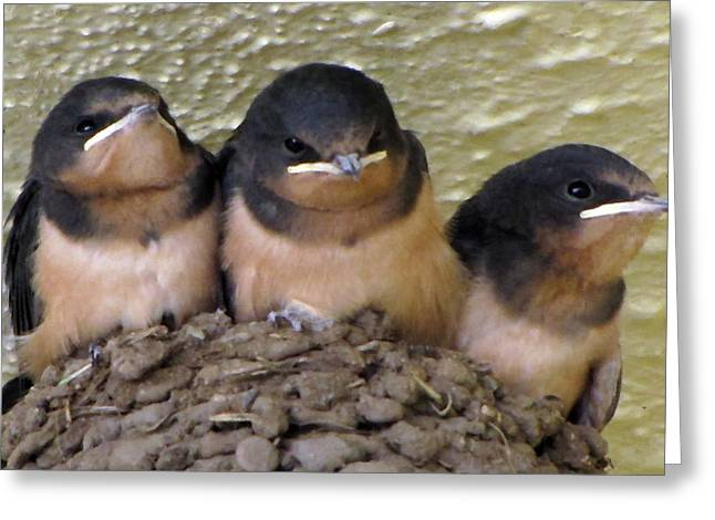 Swallow Nestlings Greeting Cards - Barn Swallows 1 Greeting Card by Roger Reeves  and Terrie Heslop