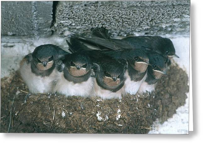 Barn Swallows Greeting Card by Hans Reinhard