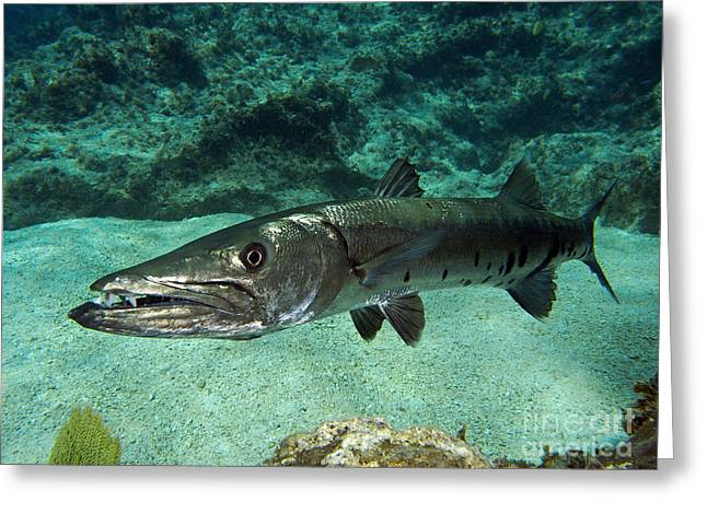 Pennycamp Greeting Cards - Barracuda Greeting Card by Jimmy Nelson