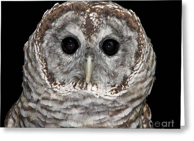Hawk Creek Greeting Cards - Barred Owl 3 Greeting Card by Rose Santuci-Sofranko