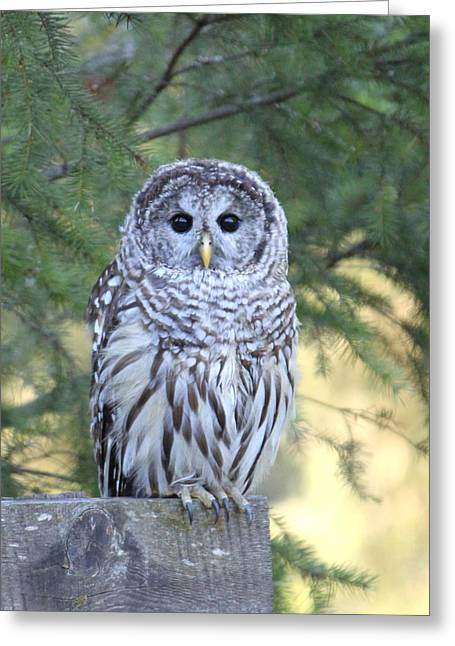 Fir Trees Greeting Cards - Barred Owl Greeting Card by Angie Vogel