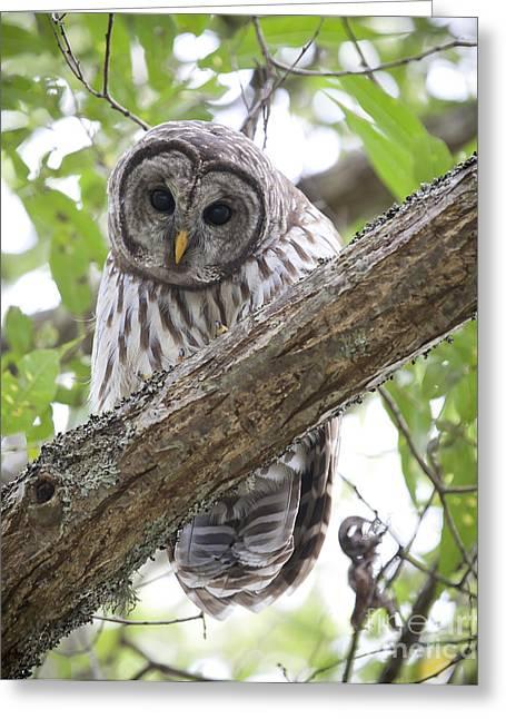 Barred Owl Greeting Cards - Barred Owl Greeting Card by Chris Dutton