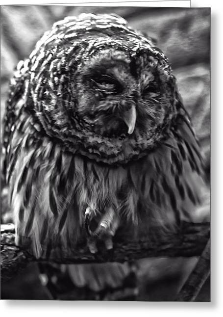 Owl Picture Greeting Cards - Barred Owl Greeting Card by Chris Flees