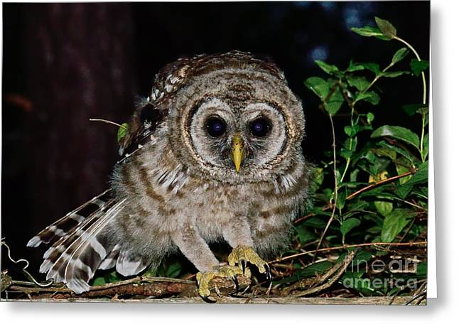 Owl Photographs Greeting Cards - Barred Owl Crouches to Spring Greeting Card by Wayne Nielsen