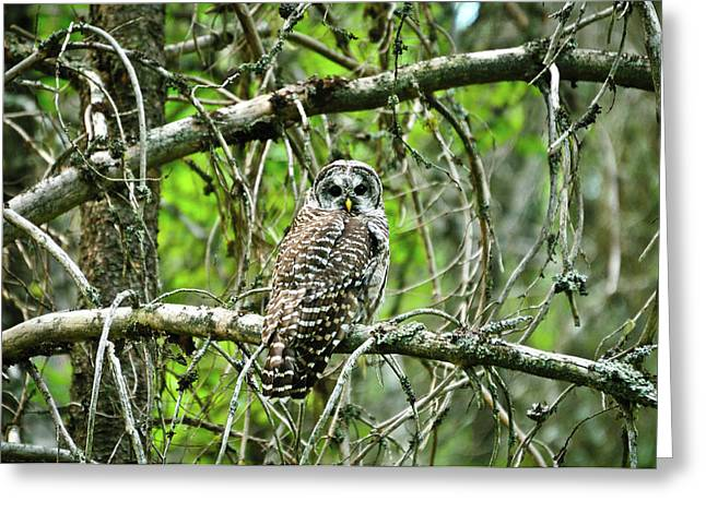 Glacier National Park Greeting Cards - Barred Owl Greeting Card by Greg Norrell