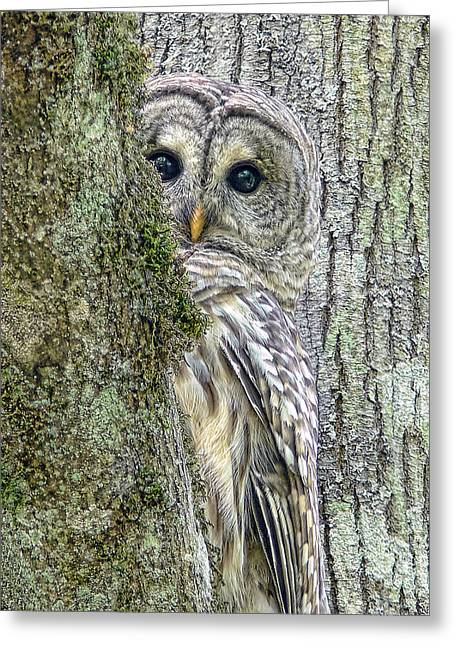 Gray Bird Greeting Cards - Barred Owl Peek a Boo Greeting Card by Jennie Marie Schell