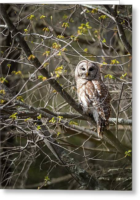 Connecticut Wildlife Greeting Cards - Barred Owl Portrait Greeting Card by Bill  Wakeley