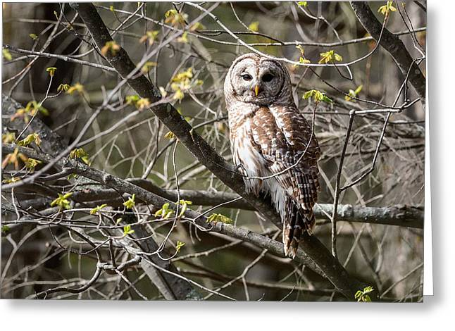Barred Owl Square Greeting Card by Bill Wakeley