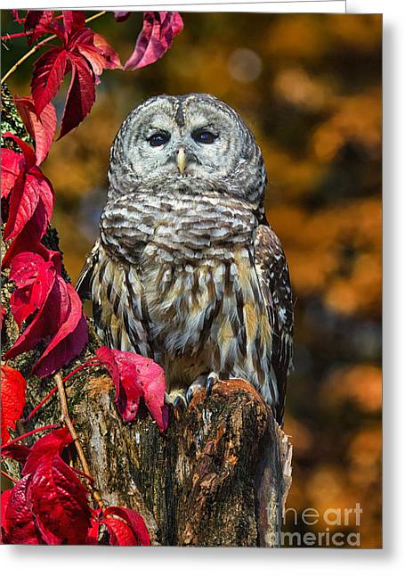Photos Of Autumn Greeting Cards - Barred Owl Greeting Card by Todd Bielby