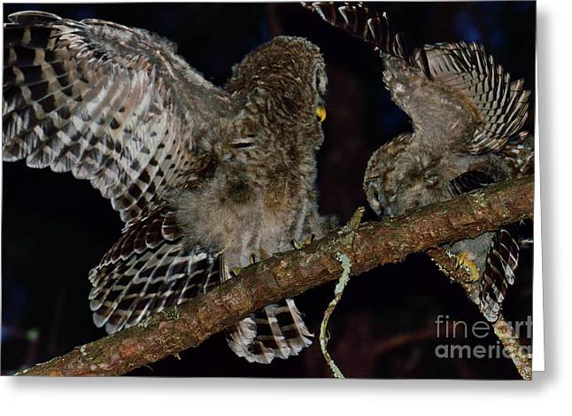 Owl Photographs Greeting Cards - Barred Owls Spar at Night Greeting Card by Wayne Nielsen
